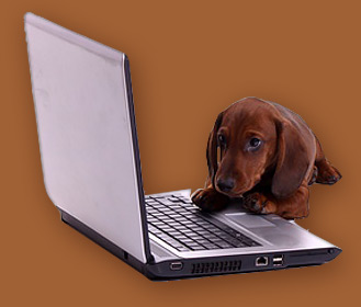 Dachshund working at a computer